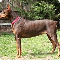 Adopt A Pet :: PORSCHE - Greensboro, NC