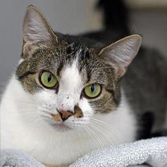 Domestic Shorthair Cat for adoption in Denver, Colorado - Wanda