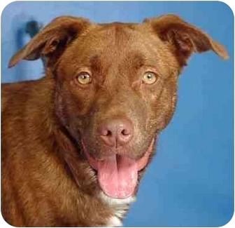 Australian Shepherd/Retriever (Unknown Type) Mix Dog for adoption in Berkeley, California - Ginger