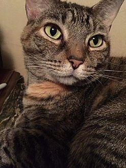 Domestic Shorthair Cat for adoption in Columbus, Ohio - Nora