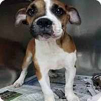 Adopt A Pet :: BIG MAN - Canfield, OH
