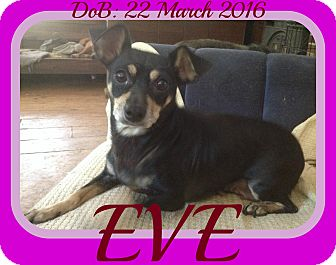 Miniature Pinscher/Chihuahua Mix Dog for adoption in New Brunswick, New Jersey - EVE