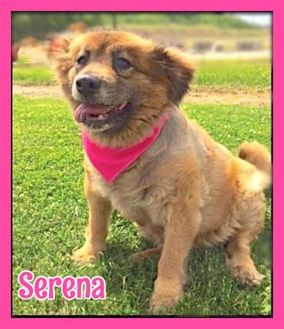 Chow Chow/Sheltie, Shetland Sheepdog Mix Dog for adoption in Jasper, Indiana - Serena