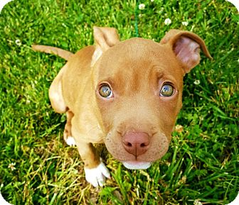 American Pit Bull Terrier Mix Dog for adoption in Lockport, New York - Molly