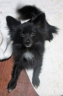 Pomeranian/Chihuahua Mix Dog for adoption in Trenton, New Jersey - Mitch