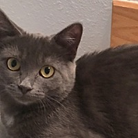 Adopt A Pet :: Lady Blue - Great Falls, MT
