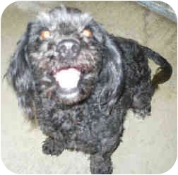 Cockapoo Dog for adoption in San Clemente, California - HORCHITA