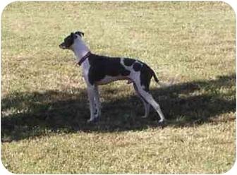 Italian Greyhound Dog for adoption in Argyle, Texas - Keegan in DFW