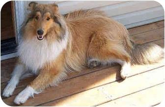 Collie Dog for adoption in Minneapolis, Minnesota - Kenny