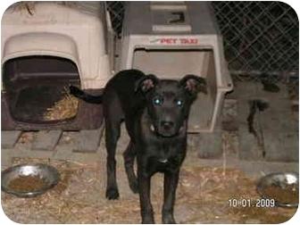 Labrador Retriever/German Shepherd Dog Mix Puppy for adoption in Rougemont, North Carolina - Tweedle