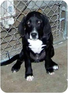 Labrador Retriever/Hound (Unknown Type) Mix Dog for adoption in Falls City, Nebraska - Josie