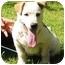 Photo 1 - Labrador Retriever/Basset Hound Mix Puppy for adoption in Portsmouth, Rhode Island - Snowflake