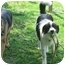Photo 2 - Great Pyrenees/Border Collie Mix Dog for adoption in Murfreesboro, Tennessee - Fonzie