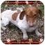 Photo 1 - Dachshund Dog for adoption in Harrisonburg, Virginia - Noodle