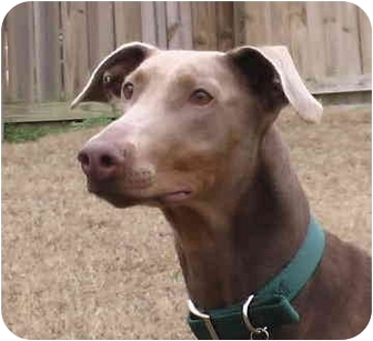 Doberman Pinscher Dog for adoption in Arlington, Virginia - Diamond Lil