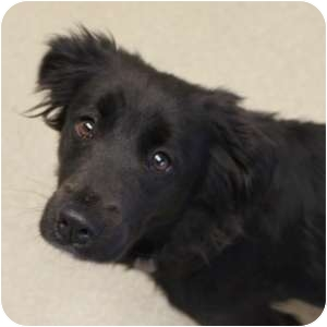 Retriever (Unknown Type) Mix Dog for adoption in Naperville, Illinois - Hailey