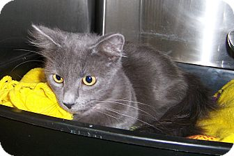 Domestic Longhair Cat for adoption in Dover, Ohio - Shaddow