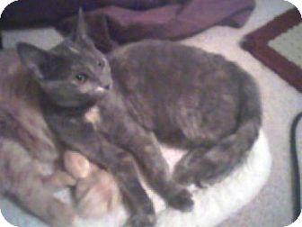 Domestic Mediumhair Cat for adoption in Louisville, Kentucky - Twizzler