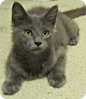 Domestic Mediumhair Kitten for adoption in Seminole, Florida - Purreax