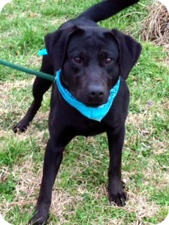 Labrador Retriever Mix Dog for adoption in Bedminster, New Jersey - ANGELINA/Gorgeous in Black