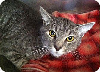 Domestic Shorthair Kitten for adoption in Greensburg, Pennsylvania - Nippy