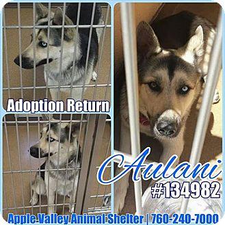 Shepherd (Unknown Type) Mix Dog for adoption in Las Vegas, Nevada - Aulani