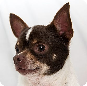 Chihuahua Dog for adoption in Cumberland, Maryland - Lewis