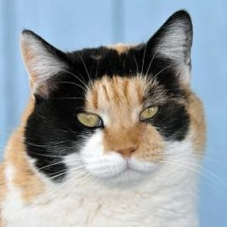 Domestic Shorthair Cat for adoption in Alamogordo, New Mexico - Miss Kitty Belle