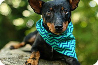 Miniature Pinscher Dog for adoption in Cincinnati, Ohio - Hermie