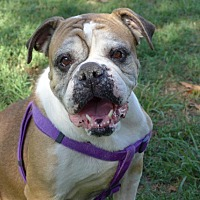 English Bulldog Dog for adoption in Santa Ana, California - Harley