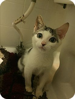 Domestic Shorthair Kitten for adoption in Jacksonville, Florida - Opal