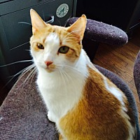 Domestic Shorthair Cat for adoption in Chattanooga, Tennessee - Blossom