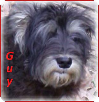 Schnauzer (Miniature)/Schnauzer (Standard) Mix Dog for adoption in Marlborough, Massachusetts - Gus-Adoption Pending