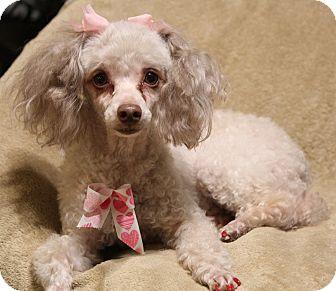 Toy Poodle Mix Dog for adoption in Yadkinville, North Carolina - Punkin