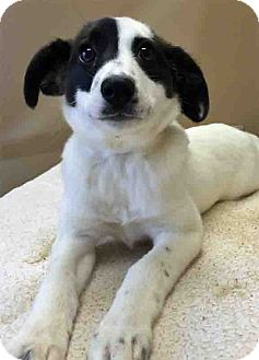Collie Mix Puppy for adoption in Gahanna, Ohio - Jeyne