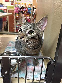 Domestic Shorthair Cat for adoption in Morganton, North Carolina - Paris