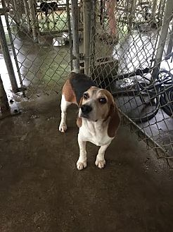Beagle Dog for adoption in Baton Rouge, Louisiana - Rabbit