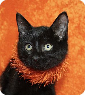 Domestic Shorthair Kitten for adoption in Jackson, Michigan - Peter