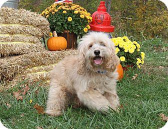 Cocker Spaniel/Poodle (Miniature) Mix Dog for adoption in Marietta, Ohio - Shaggy (Neutered)