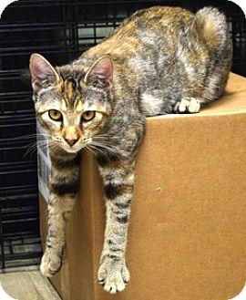 Domestic Shorthair Cat for adoption in Houston, Texas - Sierra