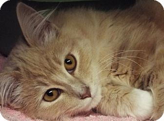 Domestic Longhair Cat for adoption in Grants Pass, Oregon - Peaches