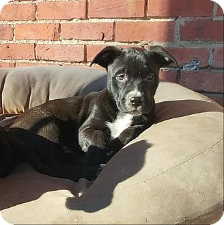 American Pit Bull Terrier Mix Puppy for adoption in Eastpointe, Michigan - Noel