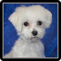 Adopt A Pet :: Gucci - Covina, CA