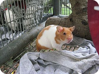 Hamster for adoption in Christmas, Florida - Snuggles