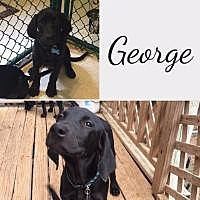 Adopt A Pet :: George - Fayetteville, AR