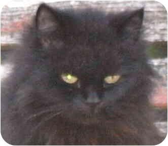Domestic Mediumhair Cat for adoption in Crescent City, California - Cocoa