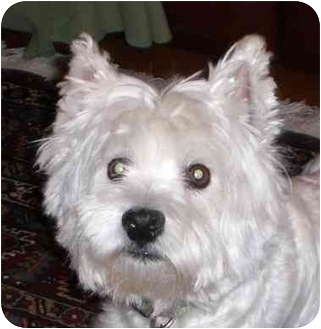 Westie, West Highland White Terrier Dog for adoption in Frisco, Texas - Meme