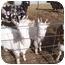 Photo 1 - Goat for adoption in Montezuma, Indiana - Timmy and Jimmy