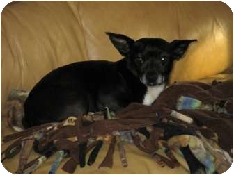Chihuahua Mix Dog for adoption in Fredericksburg, Virginia - Mikey