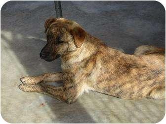 Labrador Retriever Mix Dog for adoption in Henderson, North Carolina - Horton